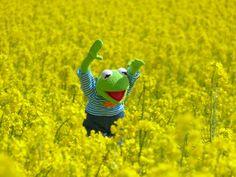 Raps, Rapsfeld, Frosch, Kermit, Gelb, Blüte, Pflanze