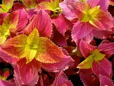 Blooming Desert's Daily Dirt: My new love for coleus Pink and Orange Foliage