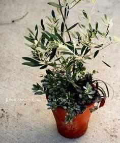「Junk sweet Garden tef*tef*」で取り扱う商品「tef*tef*寄せ植え<BR>* no.29 *<BR>オリーブ」の紹介