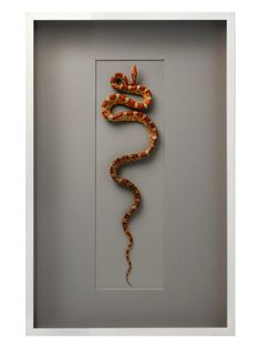 Corn Snake on Cotswold by Christopher Marley by Christopher Marley at Gilt