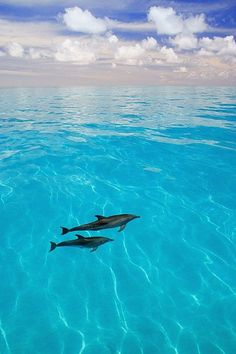 Atlantic Spotted Dolphins - by Carson Ganci