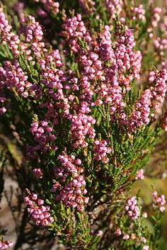 Heather (Calluna vulgaris) | Heather (Calluna vulgaris) (C) Anne Burgess :: Geograph Britain and ...