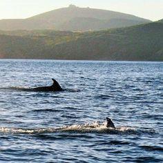 Dolphins at Sant'Antioco, SW Sardinia