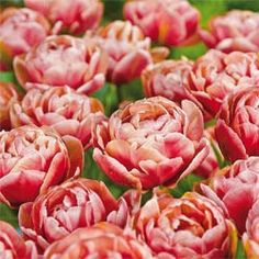 Copper Image Tulip. Haven't tried them yet, but boy do I covet them!