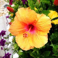 Hibiscus Flowers at Midway Beach, So. Seaside Park, NJ.  #MidwayBeach #SouthSeasidePark #NJ  - - Photo: Chris Anderson at Quantum Design Lab (http://quantumdesignlab.com)