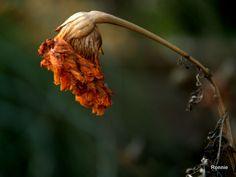 verwelkte bloem