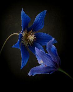 clematis #cold porcelain Cold Porcelain Flowers, Clematis, Plants, Plant, Planets