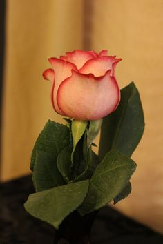 """The """"Brianna"""" Rose, it is a beautiful Pink with a slightly darker brim! I didn't know there was a rose called Brianna, did you?  @Brianna Spurrier- Fusick"""