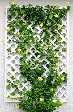 White lattice feature trellis with a colourful flowering vine makes use of the vertical space against a house wall.
