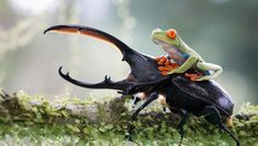 The Beetle and the Frog. An Amazing Photo of a Tree Frog Riding a Titan Beetle