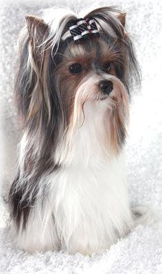 Biewer Yorkie Terrier. Just love their hair! #yorkie #dogs #doglife