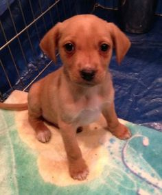 Weekend Rescue: Sharky is a yellow Labrador Retriever puppy that needs a new home. Help him out by liking and repinning.
