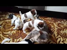 Watch four Jack Russell puppies dog pile on this very understanding cat