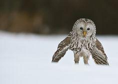 Fotografía de Sven Začek (debe ir con las 6 y 7)  La nieve puede ocultar presas como las ratas de campo, pero esa protección no es nada contra las múltiples ventajas de caza que la naturaleza le ha conferido a los búhos.