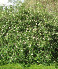 Riippapihlaja - Sorbus aucuparia 'Pendula'
