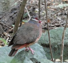 Bridled Quail-dove Perched on a Rock Virgin Islands National Park, Tropical Animals, Bird Species, Quail, National Parks, Rock, Skirt, Quails, Locks