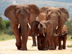 Petani Tewas Akibat Terinjak Gerombolan Gajah : Seorang petani diinjak-injak hingga tewas oleh gerombolan gajah yang mengobrak-abrik daerah di Kabupaten Tunduru di Tanzania Selatan kata pihak berwenang pada Minggu