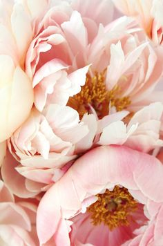 Exquisite pale pink peonies.