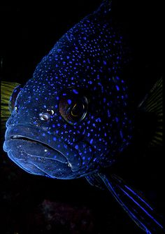 Bleeker's Blue Devil