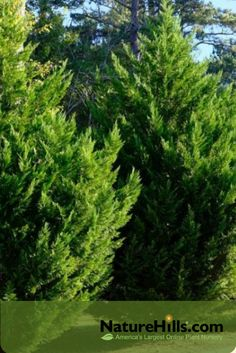 If you are on the search for a massive, gorgeous living fence that will give you a wonderful sense of privacy on a large lot, take a look at one of the most popular selection of evergreen trees, Leyland Cypress. off today! Best Trees For Privacy, Privacy Trees, Privacy Plants, Cypress Trees, Evergreen Trees, Leland Cypress, Fast Growing Shrubs, Colorful Shrubs, Online Plant Nursery