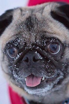 Theres no pug like a snow pug