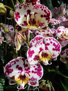Phalaenopsis dálmata