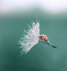 Lady bug riding a dandelion. Perfectly timed. Beautiful photography.