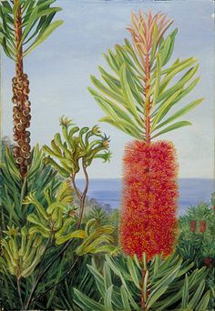 Flowers of a West Australian Shrub and Kangaroo Feet  by Marianne North  Location: Australia, West Australia  Plants: Kangaroo Feet, Anigozanthus flavida  Callistemon speciosus  (C) Kew Gardens, London  http://www.kew.org/mng/gallery/plant-portraits