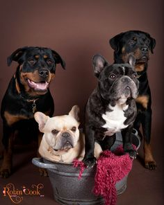 Entre amigos, French Bulldogs and Rottweilers❤