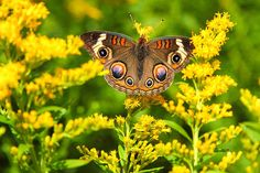 A Buckeye Butterfly rests amongst Goldenrod on a hot Summer day in the Northern Kettle Moraine State Forest, WI 2011