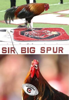University of South Carolina Gamecocks - Sir Big Spur - the  live rooster mascot at the University of South Carolina since 2006.