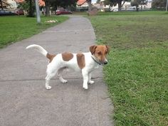 Jack Russell/dachshund mix!