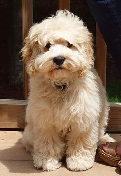 Teddy Bear grown up dog...sooo sweet!