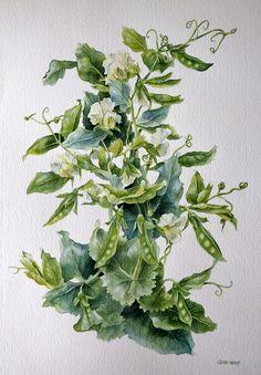 """Green Pea's"" Watercolour by Caren Heine"