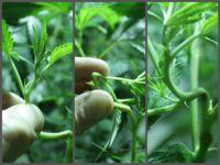 Técnicas de manipulación para lograr mayores cogollos.   S'HORTET Cultiu Urbà / Grow Shop