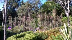 Otari-Wilton bush alpine garden stand of lancewoods.