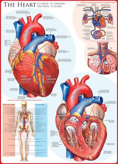 realistic heart diagram tropical rainforest food web 54 best anatomical hearts medical illustrations images human body the 1000 piece puzzle is engine