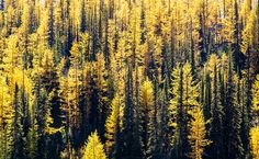 Autumn Larches in Yoho 4 x 3 Mounted Photo by ChrisGardinerPhotos, $17.00 on Etsy  Perfect for anyone searching for seasonal autumn artwork! lots more available