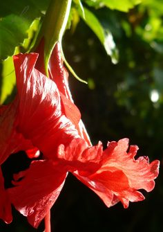 In the early light, this hibiscus bud unfurls with a spirited flamenco flourish!
