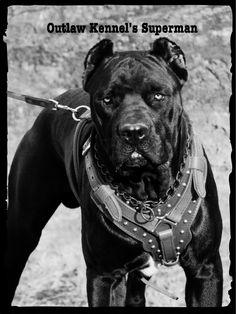 Outlaw Kennel | Cane Corso, Louisiana
