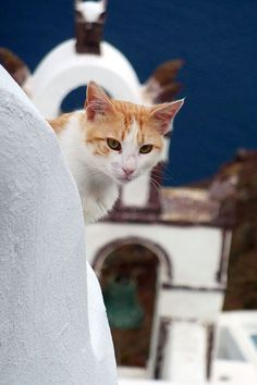 The Santorini Cat