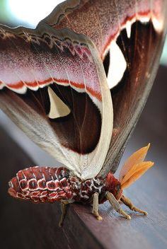 Atlas Moth: Attacus atlas are considered the largest moths in the world in terms of total wing surface area [upwards of c. 400 cm2 (62 sq in)]. Their wingspans are also amongst the largest, reaching over 25 cm (10 in).