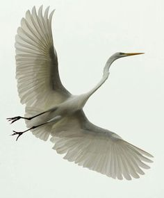 Great Egret at Myrtle Beach by Kim Eastwood.