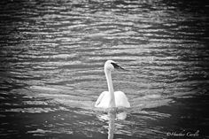 """#ChickPIcotheDay! (Day 1,925) """"Here comes the Queen"""". #Regal #Royal #Royalty #Queen #Swan #Paddling #CanYouCurtsy"""