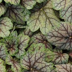 Venus Heuchera Coral Bells Plant full sun part shade