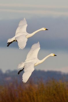 Bewick Swans by mikeD_CircleD.  Bewick swans are a smaller subspecies of the trumpeter swan.