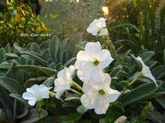 Petra Rosso' Garden. White flower bed. Summer