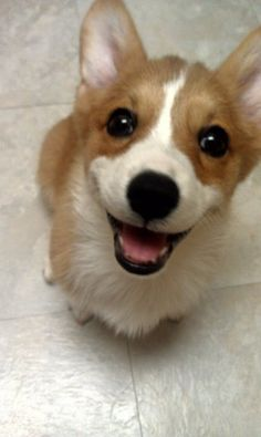 """The caption read """"this is Zelda. She loves you."""" #corgi #puppy"""