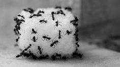 How do you kill ants using vinegar?