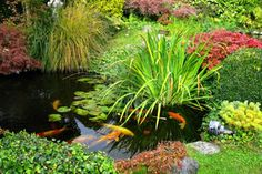 If you want to create a koi pond, to be informed of the most important conditions for the application. However, Koi carp or also known that the color of the Outdoor Fish Ponds, Ponds Backyard, Koi Ponds, Fish Pond Gardens, Water Gardens, Garden Pond, Garden Tips, Garden Water, Pond Maintenance